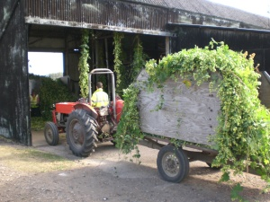 EKG being harvested. Pic courtesy of Kent Brewery