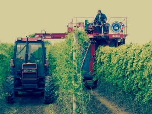 Hop Harvest by Stocks Farm
